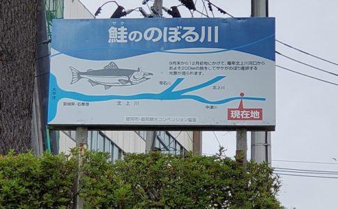 中津川 鮭 遡上